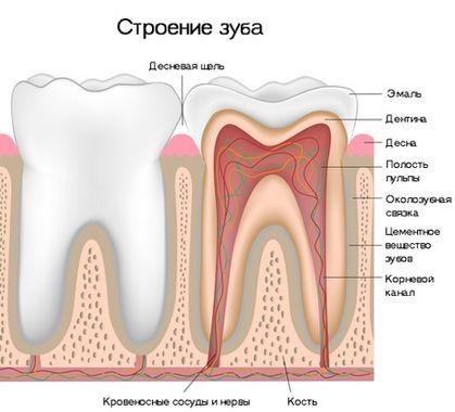 Анатомо-фізіологічні особливості пульпи зуба