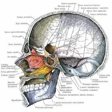 Строение лицевой части черепа