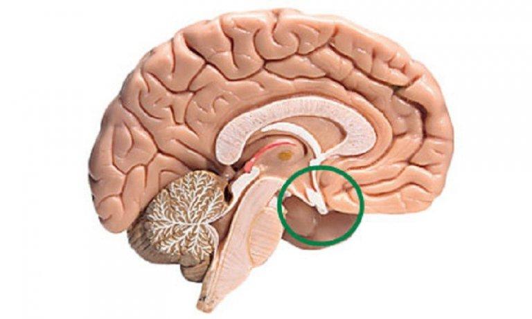 Изображение гипофиза головного мозга